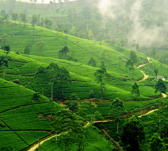 sri_lanka_nuwara_eliya_tea_plantation